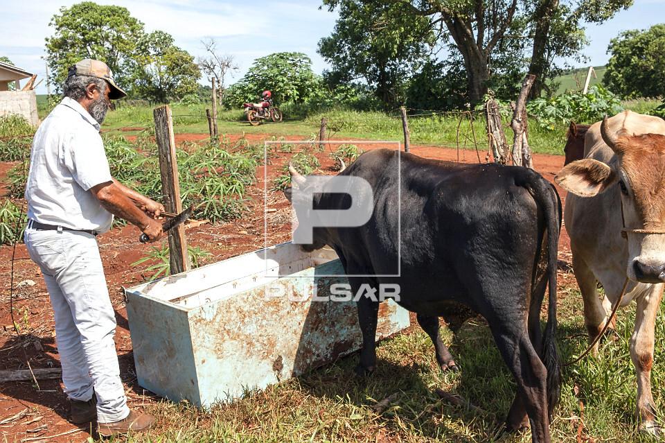 Pessoa alimentando gado com cana-de-açúcar em pequena propriedade rural