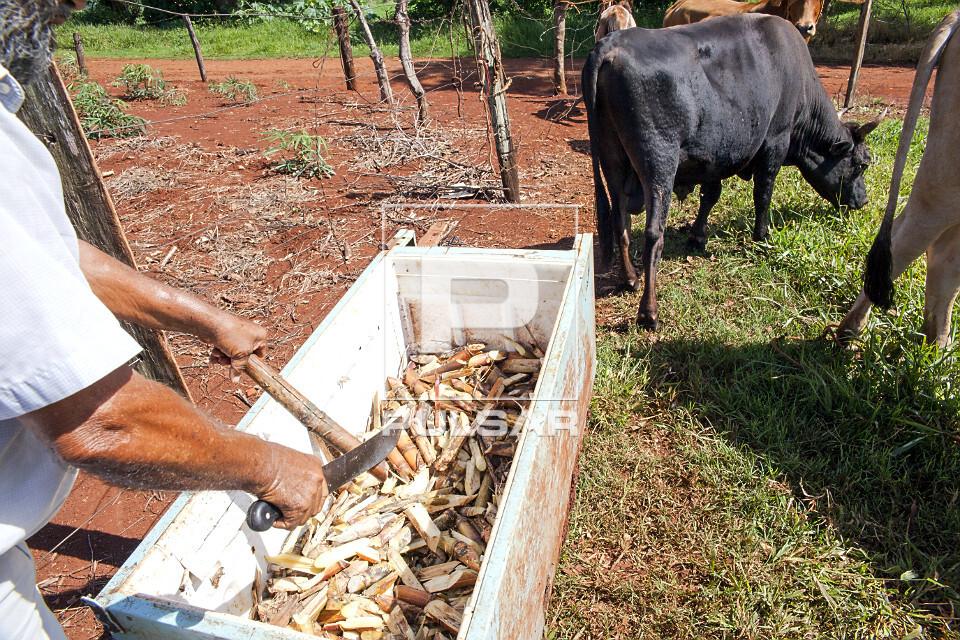 Cana-de-açúcar em cocho utilizada para alimentar gado em pequena propriedade rural