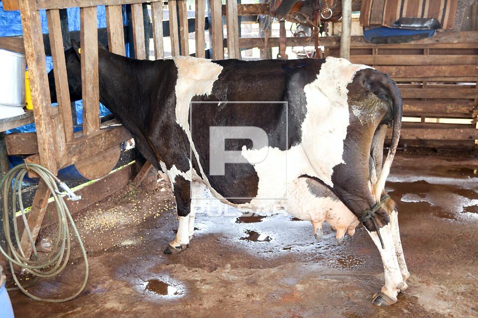 Vaca holandesa antes da ordenha manual de pequena propriedade rural