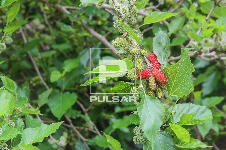 Detalhe de frutos da amoreira denominados amora , amora-preta , amora-miúra ou amora-da-horta