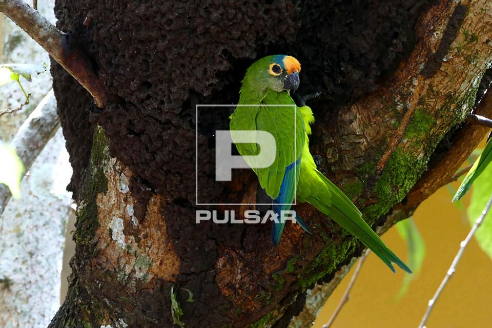 Periquito-rei - conhecido também como periquito-estrela, jandaia-estrela, aratinga-estrela, coquinho-de-ouro