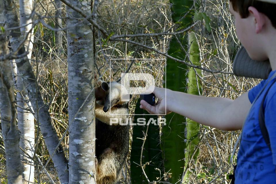 Ecoturista fotografando tamanduá-mirim - também chamado de melete ou mixila