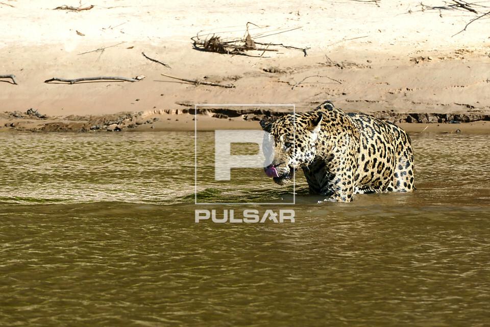 Onça pintada - espécie ameaçada de extinção - também denominada acanguçu, canguçu, jaguar, jaguarapini