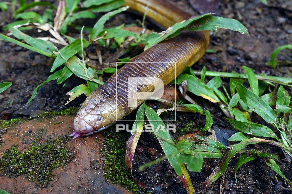 Cobra-cega - também denominada cobra-pilão, ibicara, mãe-de-saúva, minhocão e ubijara