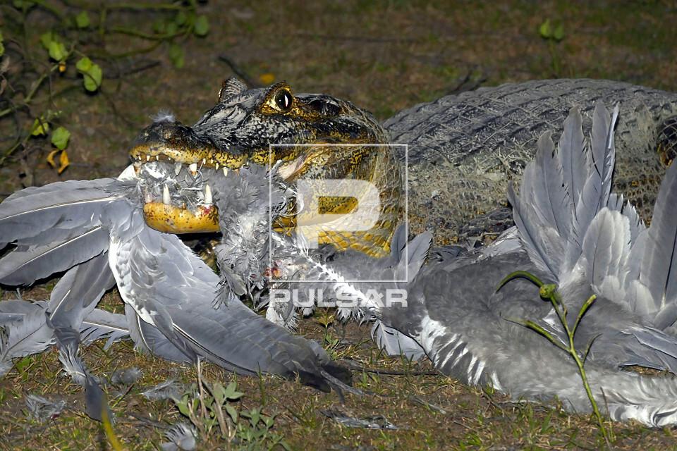 Jacaré-do-pantanal se alimentando de presa
