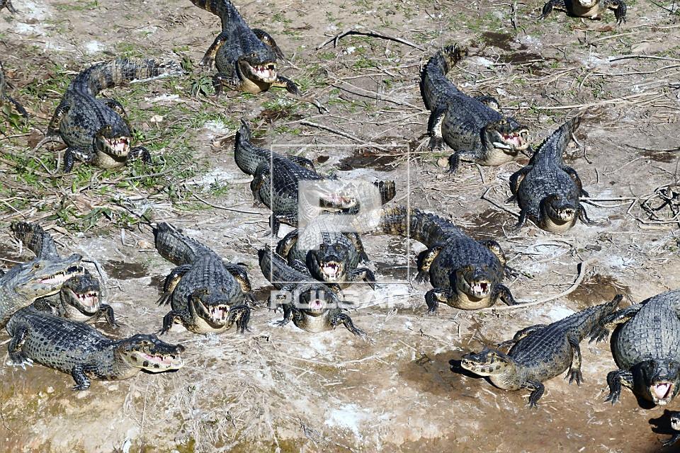 Vista de cima de jacarés-do-pantanal