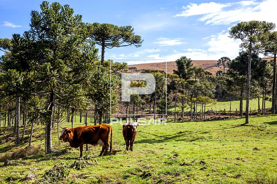 Vacas leiteiras em pasto com araucárias