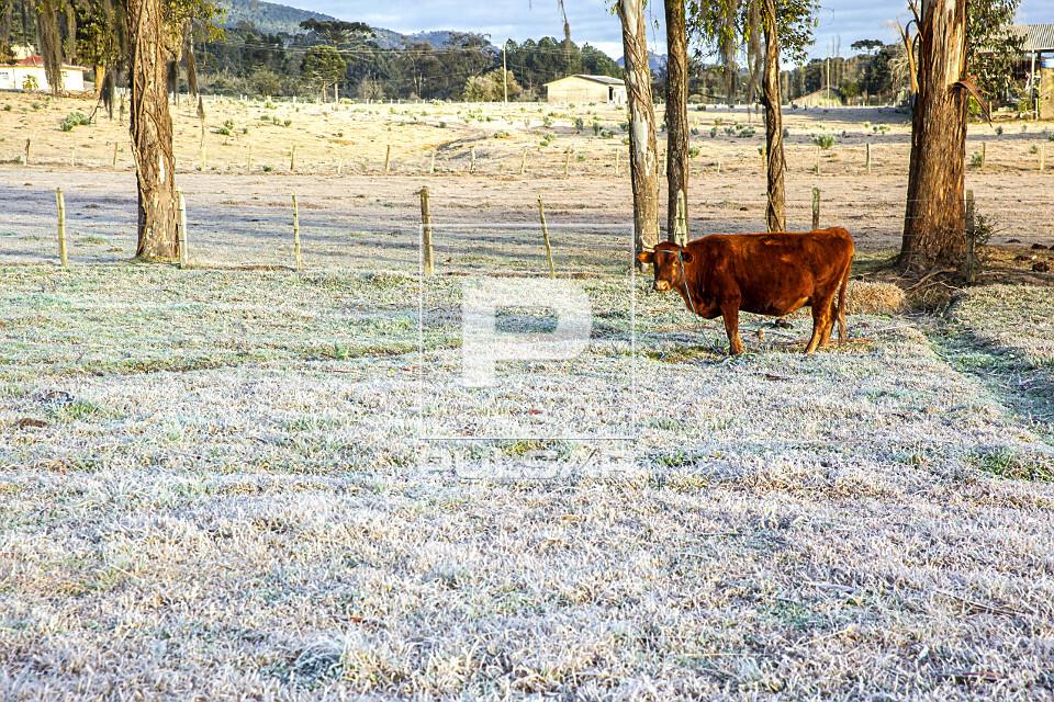 Vaca no pasto coberto por gelo após geada