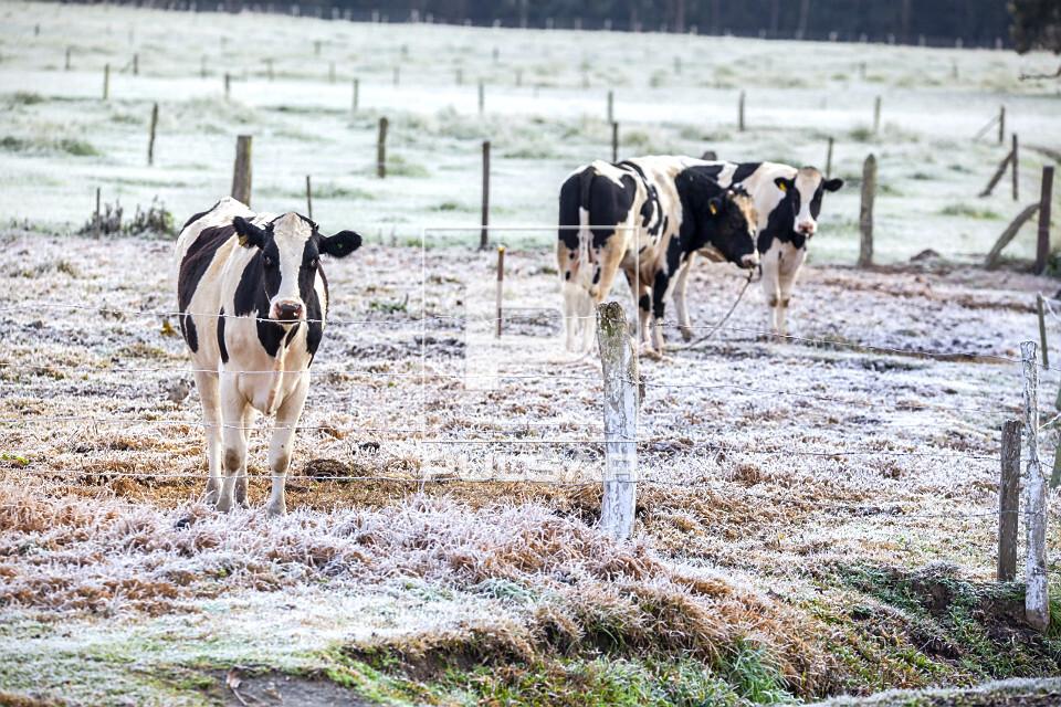 Vacas leiteiras no pasto coberto por gelo após geada