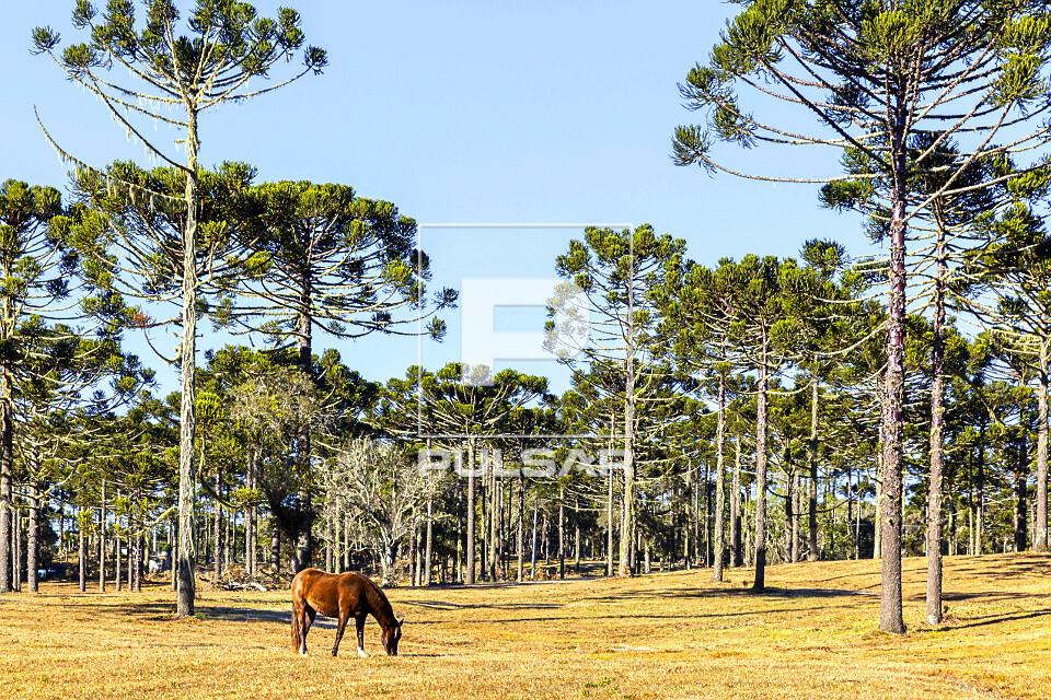 Cavalo pastando e araucárias na zona rural