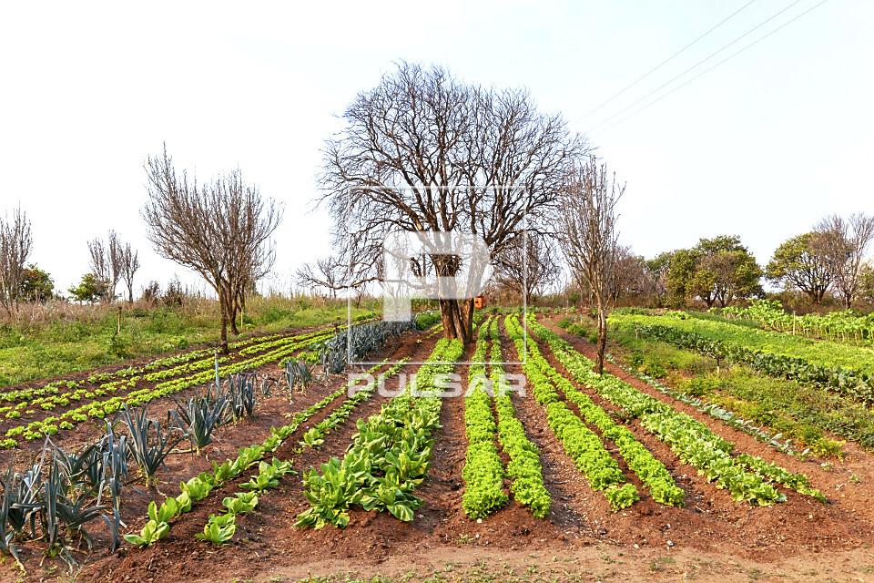 Plantação de hortaliças