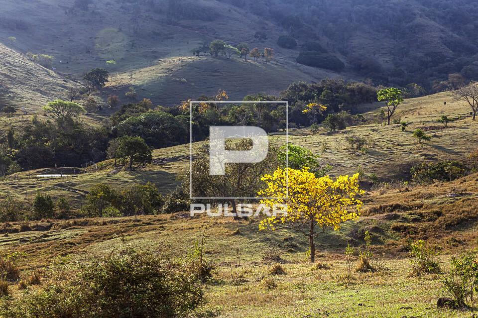 Ipê-amarelo florido na área rural