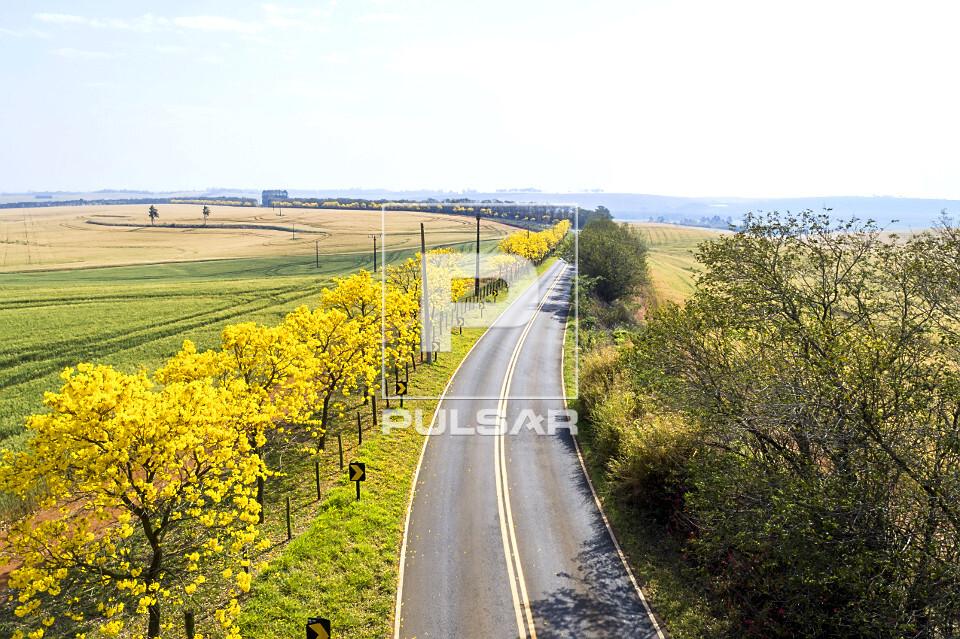 Vista de drone de ipês floridos na margem da estrada Antonio Vicentini e plantação de trigo à esquerda