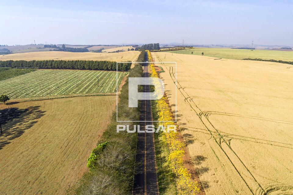 Vista de drone de plantação de trigo à direita e ipês floridos na margem da estrada Antonio Vicentini