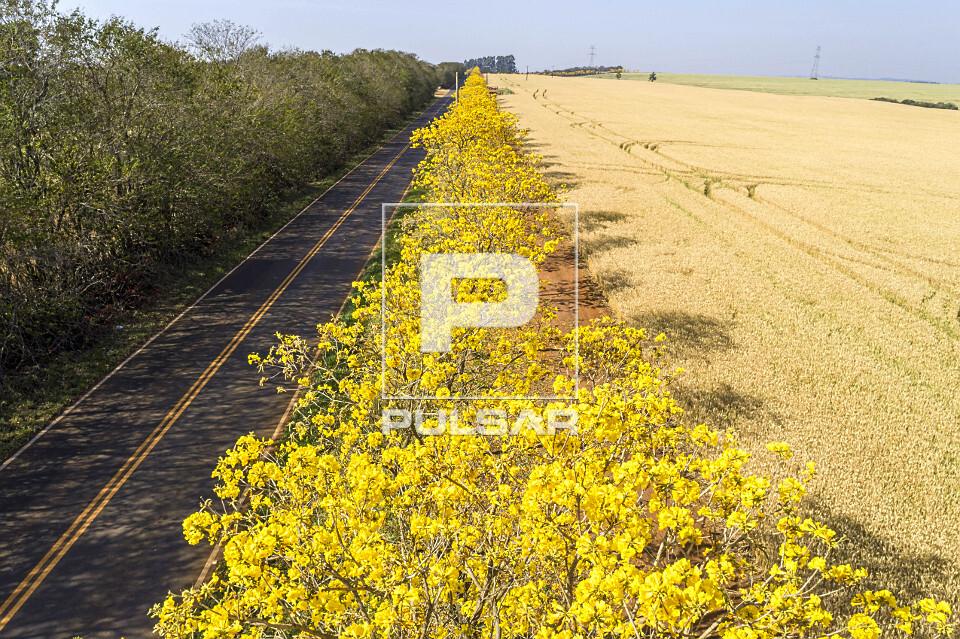 Vista de drone de ipês floridos entre a estrada Antonio Vicentini e plantação de trigo à direita