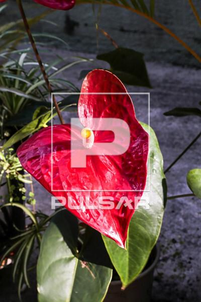 Detalhe de antúrio vermelho no jardim de edifício residencial - bairro Perdizes