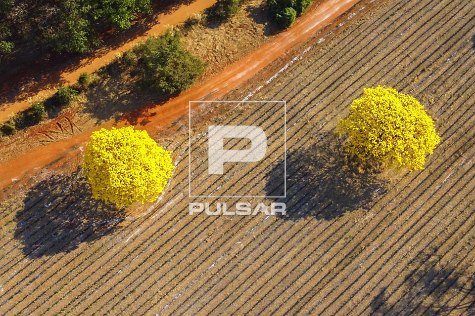 Vista de drone de ipês-amarelos floridos