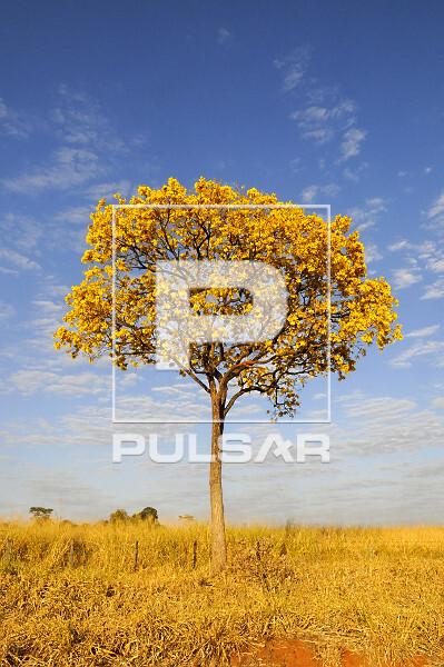 Ipê-amarelo florido