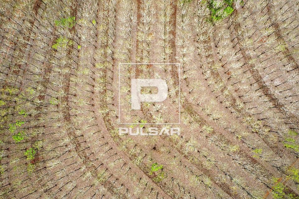 Visão perpendicular de drone de seringueiras queimadas pela geada em processo de desfolhamento - heveicultura