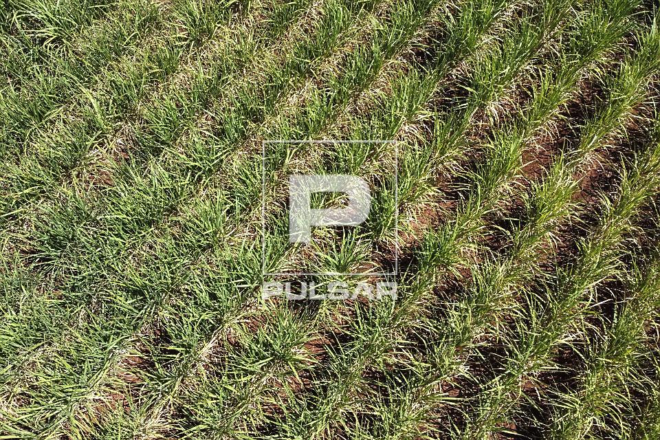 Vista de drone de detalhe de plantação de cana-de-açúcar