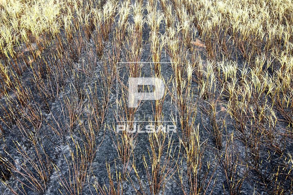 Vista de drone de detalhe de plantação de cana-de-açúcar atingida pelo fogo