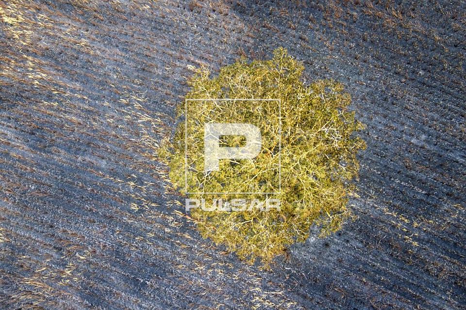 Vista de drone de copa de árvore denominada farinha-seca no meio de plantação de cana-de-açúcar atingida