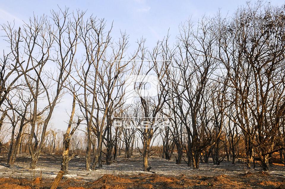 Árvores queimadas por incêndio
