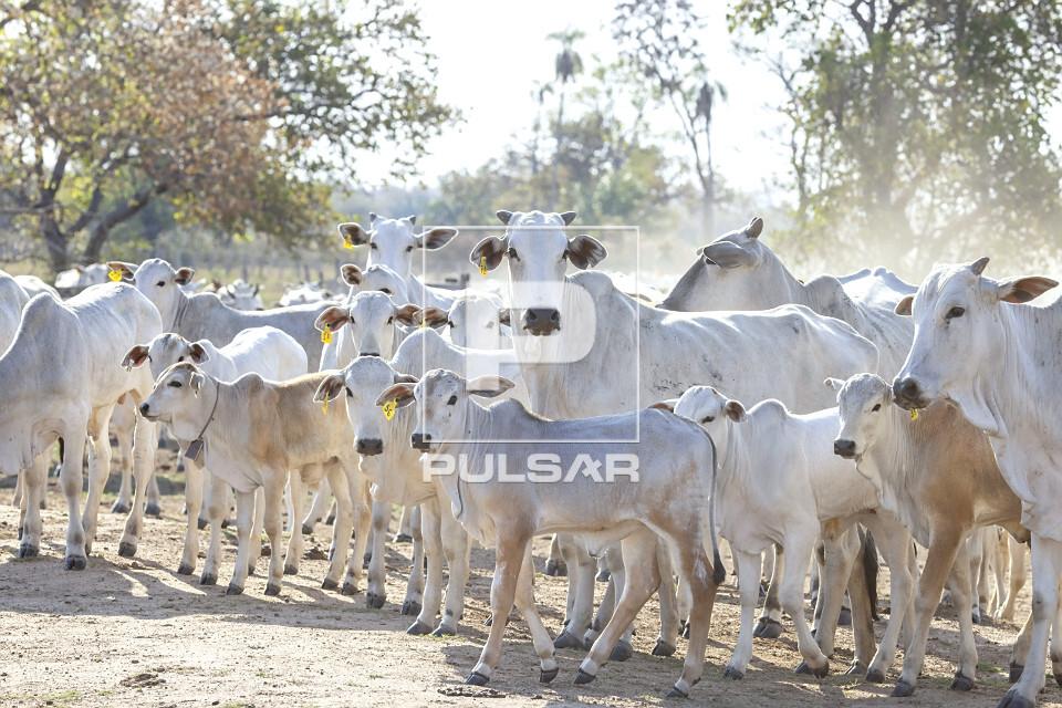 Criação de gado nelore em fazenda do Pantanal Sul