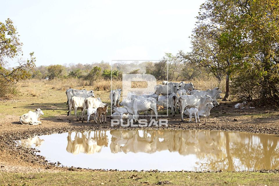 Criação de gado nelore durante estiagem em fazenda do Pantanal Sul