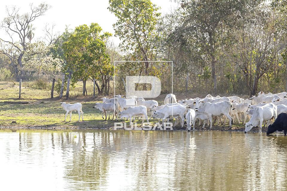Criação de gado nelore bebendo água de lagoa em fazenda do Pantanal Sul