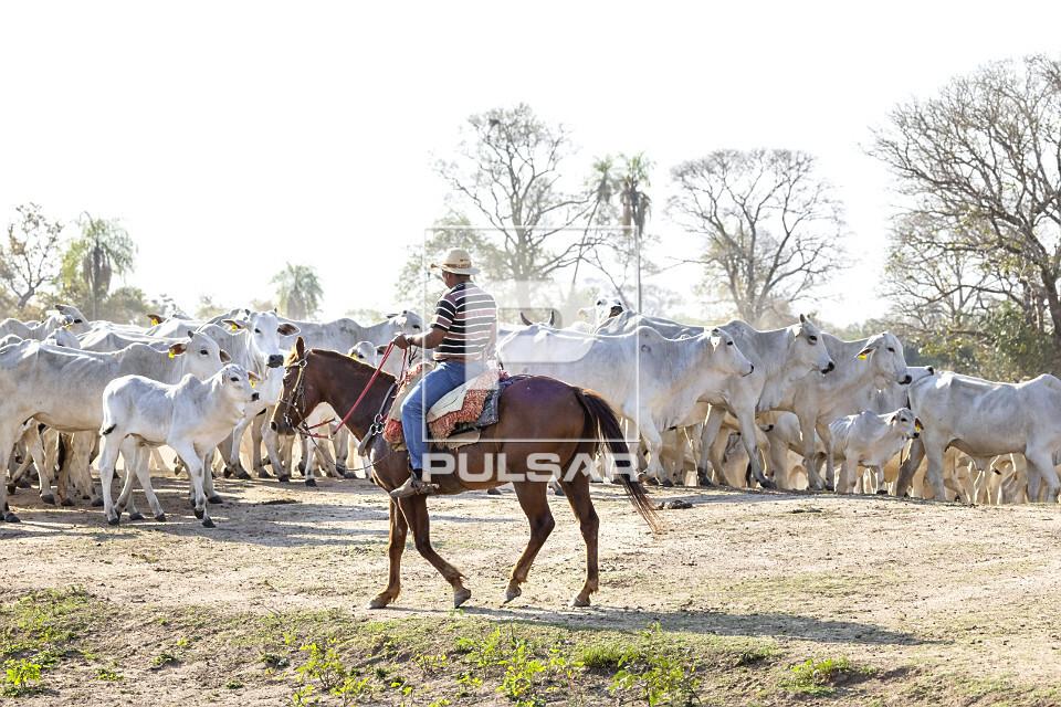Peão boiadeiro tangendo gado nelore em fazenda do Pantanal Sul