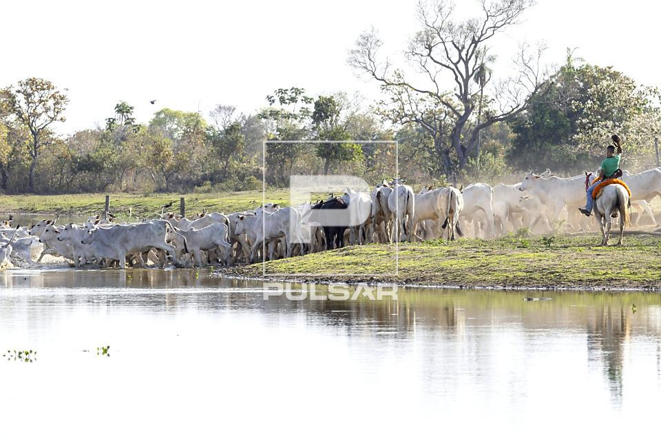 Peão boiadeiro tocando gado na travessia de açude em fazenda do Pantanal Sul