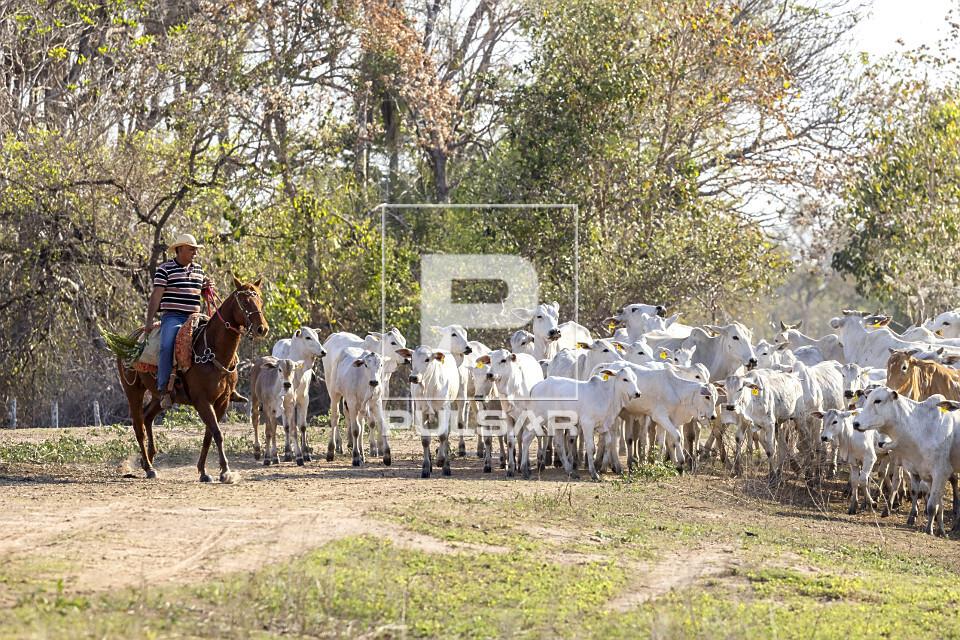 Peão boiadeiro tangendo gado em fazenda do Pantanal Sul