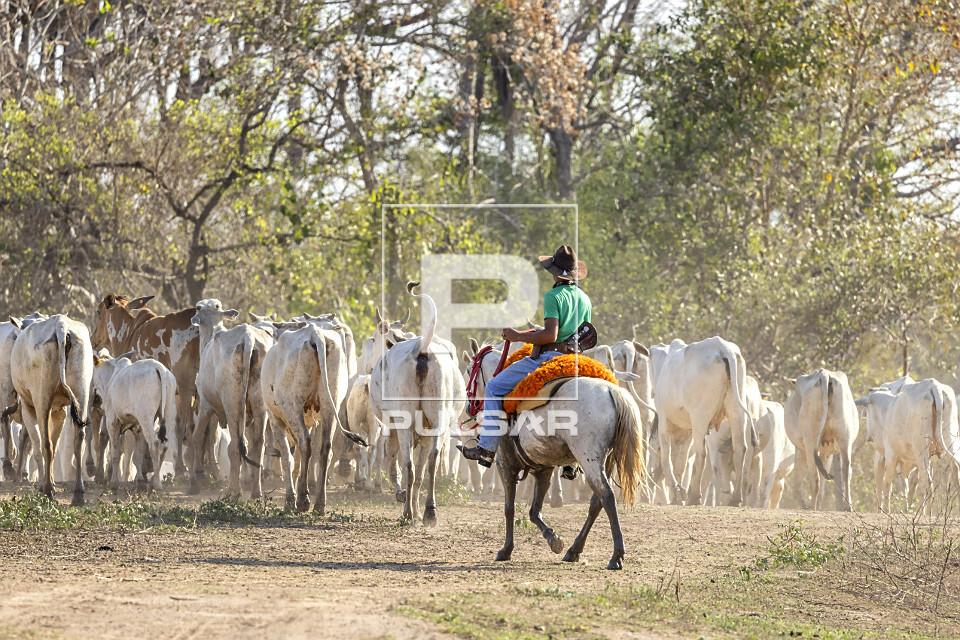 Peão boiadeiro conduzindo gado nelore de fazenda do Pantanal Sul