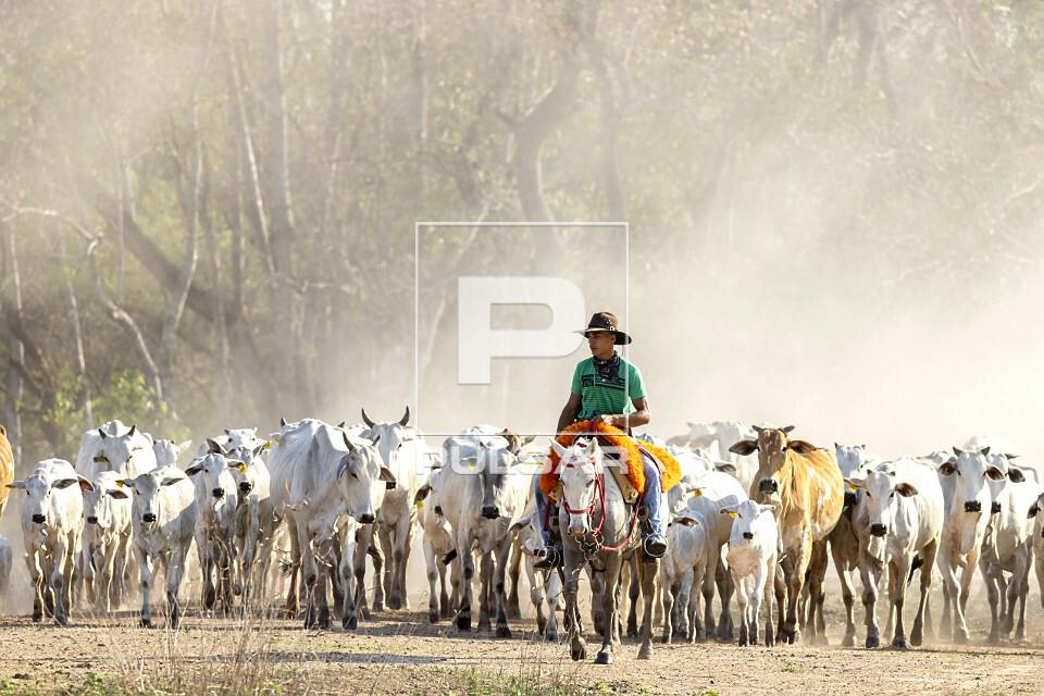Peão boiadeiro manejando gado nelore de fazenda no Pantanal Sul