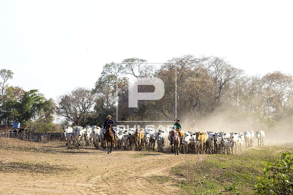 Peões manejando gado de corte em fazenda do Pantanal Sul