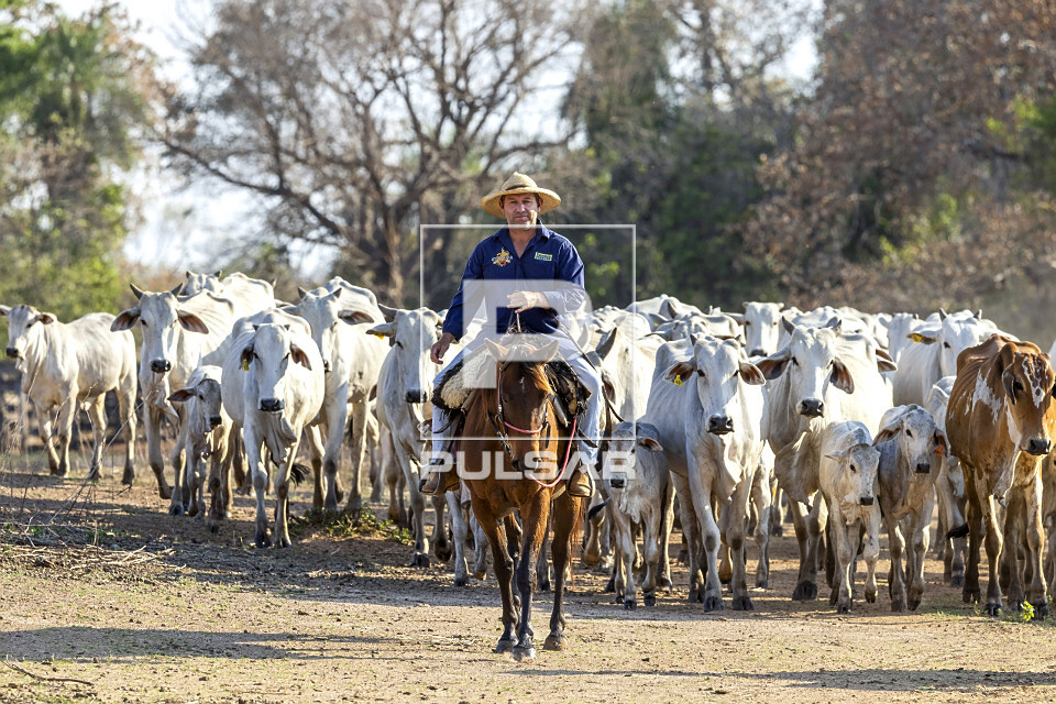 Peão boiadeiro manejando gado nelore de fazenda - Pantanal Sul