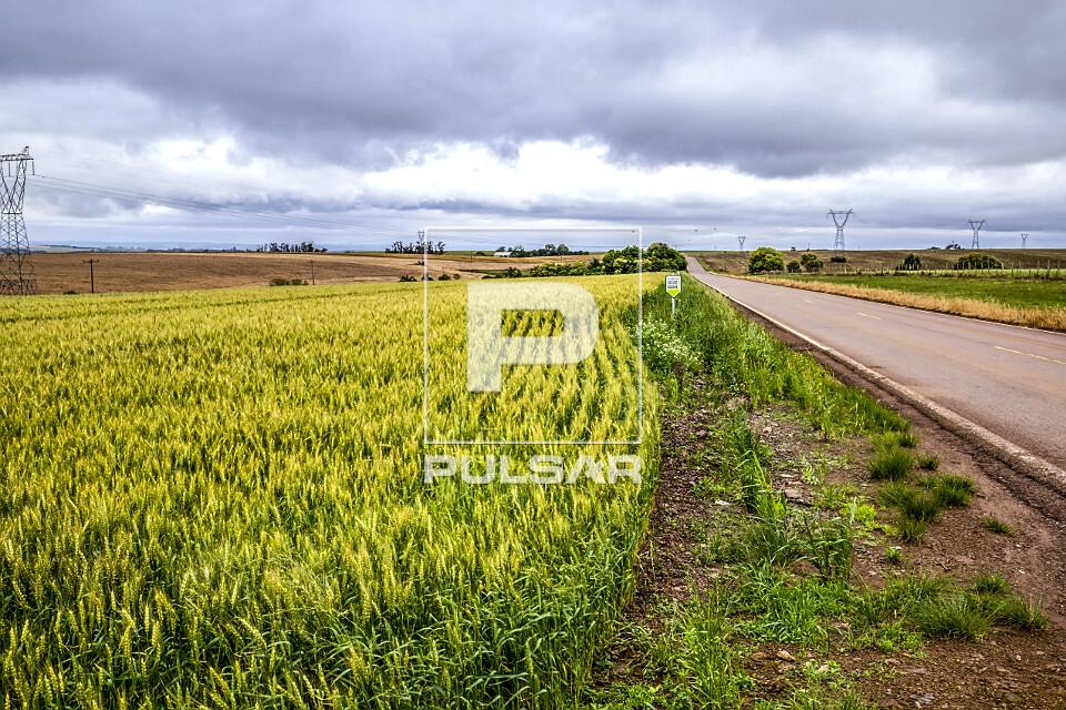 Plantação de trigo na margem da rodovia RST-481