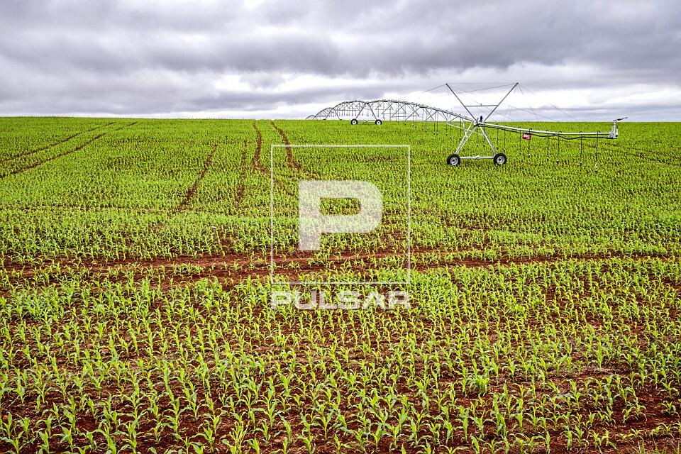 Plantação de milho com irrigação por pivô central