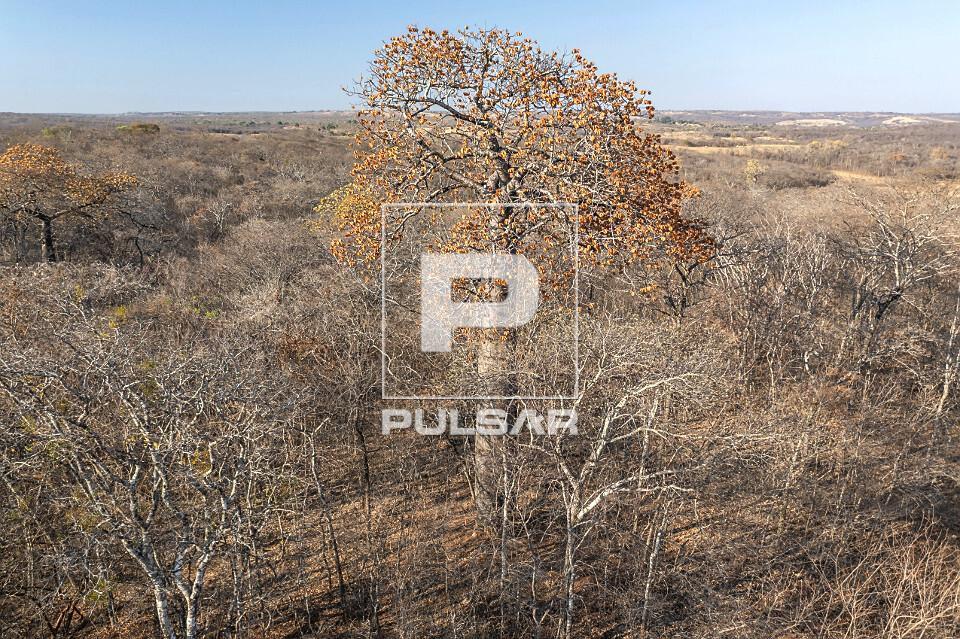 Vista de drone de árvore embaré em floresta estacional decidual - APA Nascentes do Rio Vermelho - aréa de t