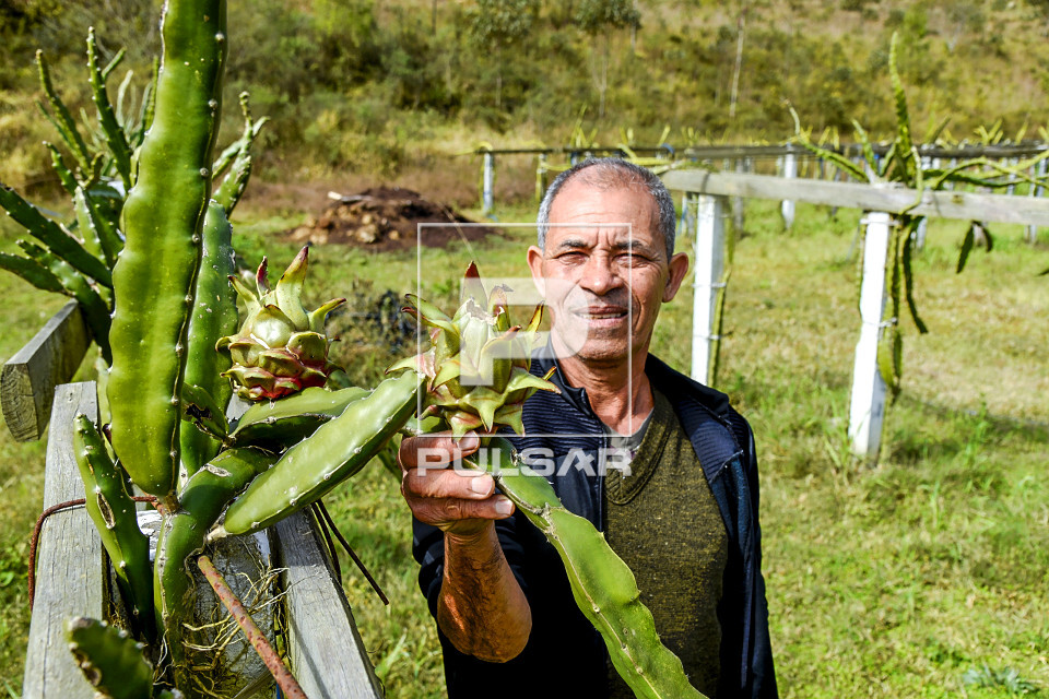 Agricultor observando plantação de pitaia - também denominada fruta-do-dragão