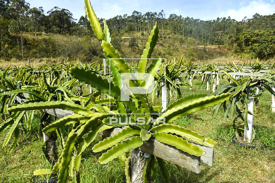 Plantação de pitaia - também denominada fruta-do-dragão