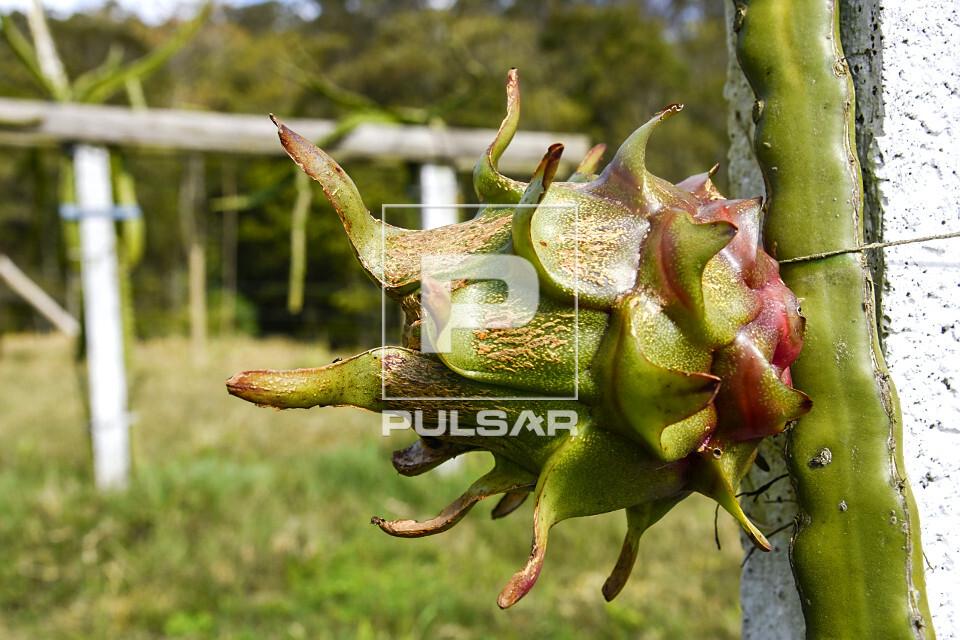 Fruto de pitaia - também denominada fruta-do-dragão