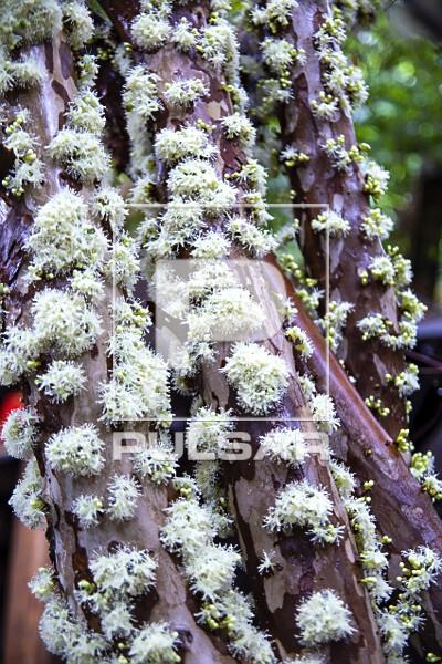 Detalhe do tronco de jabuticabeira coberto de flores