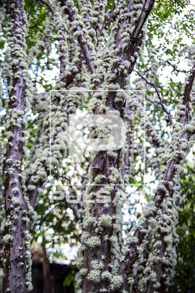 Tronco de jabuticabeira coberto de flores