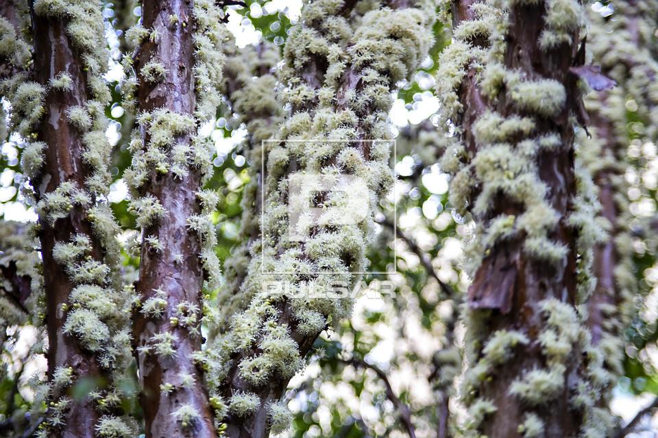 Detalhe do tronco de jabuticabeira florido