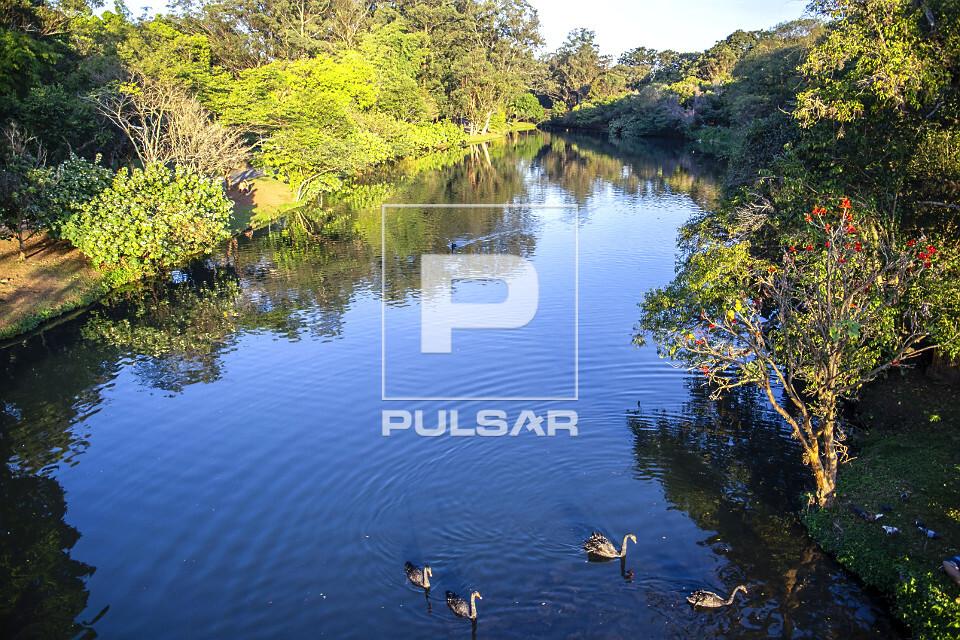 Cisnes no lago do Parque do Ibirapuera - alimentado pelas águas do córrego do Sapateiro