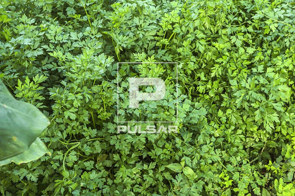 Salsinha - também conhecida como cheiro-verde