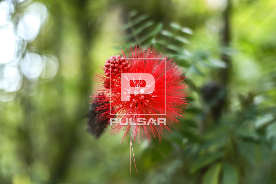 Flor da caliandra vermelha