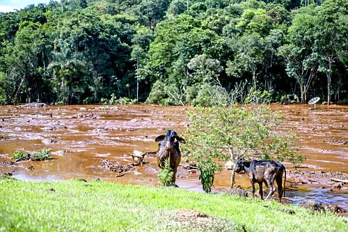 Animais fogem da onda de lama contaminada após rompimento da barragem da mina do Córrego do Feijão - rejeit